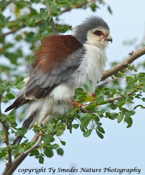 Male Pygmy Falcon, Serengeti National Park, Tanzania