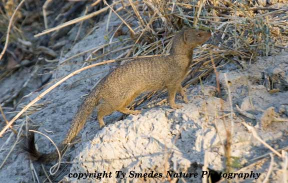 Slender Mongoose, Chobe National Park, Botswana