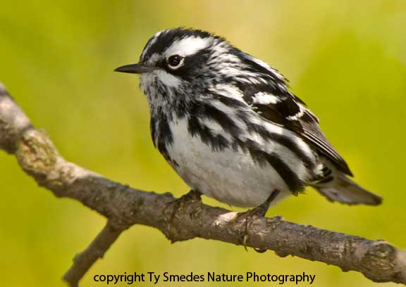 Black and White Warbler - male