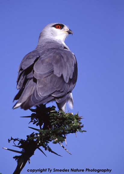 Black-shouldered Kite, Serengeti National Park, Tanzania