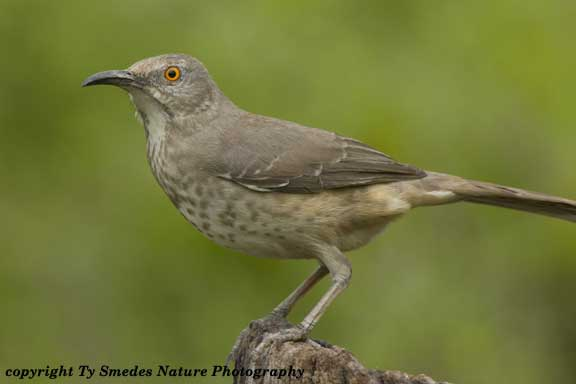 Curve-billed Thrasher in South Texas