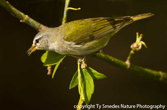 Tennessee Warbler - female, with insect