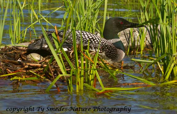 Common Loon sliding off the nest with one egg