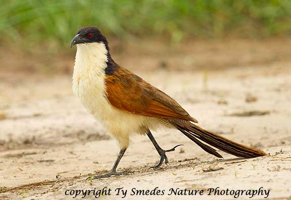 Coppery-Tailed Coucal, Botswana