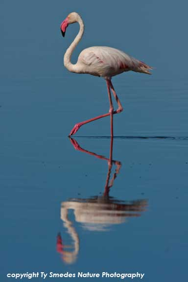 Greater Flamingo, Lake Masek, Serengeti National Park, Tanzania