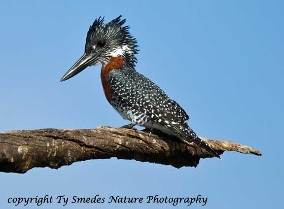 Giant Kingfisher, Chobe National Park, Botswana