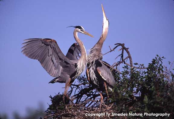 Great Blue Herons displaying at the nest