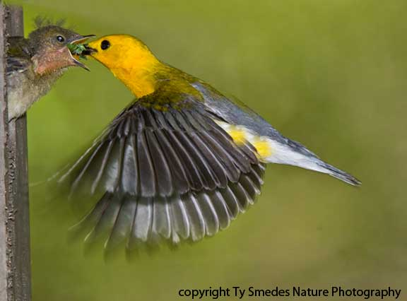 Prothonotary Warbler (male) hovering at the nest, and feeding young