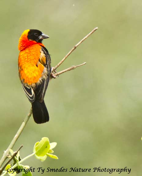 Northern Red Bishop, Lake Manyara National Park, Tanzania