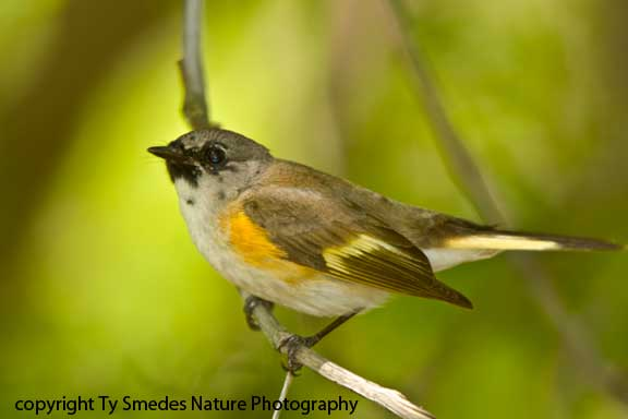 Redstart (American) - 1st year male