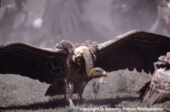 Rupplle's Griffon Vulture at Wildebeest carcass, in Serengeti