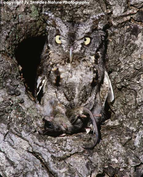 Screech Owl - Gray Phase, with mouse