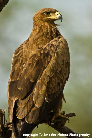 Tawny Eagle, Serengeti National Park, Tanzania