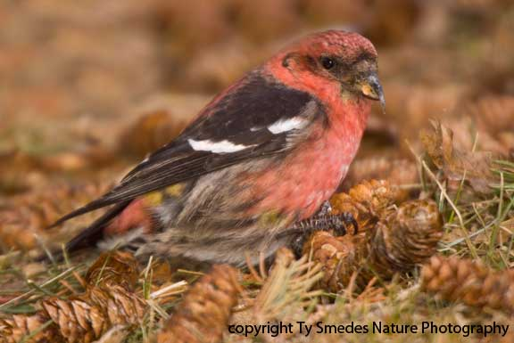 Male White-winged Crossbill, eating pine seeds