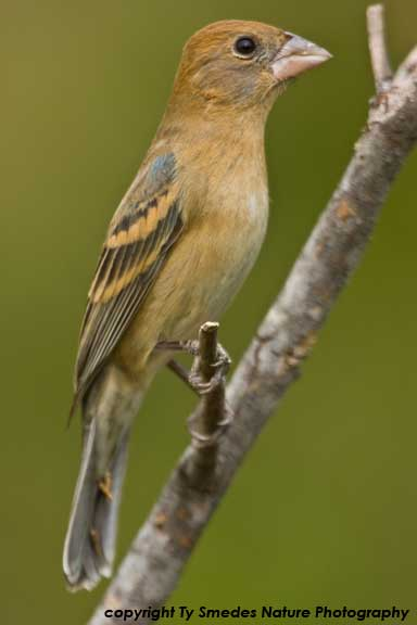 Blue Grosbeak (female)