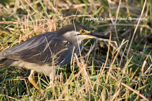 Green-backed Heron, Chobe River, Chobe National Park, Botswana
