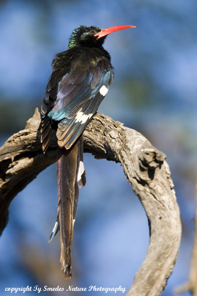 Red-billed Wood Hoopoe, Chobe National Park, Botswana