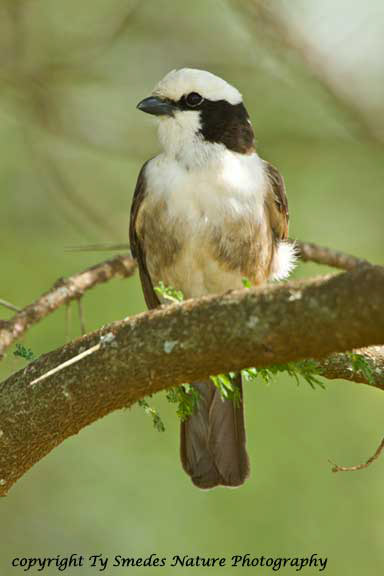 White-crowned Shrike, Serengeti National Park, Tanzania