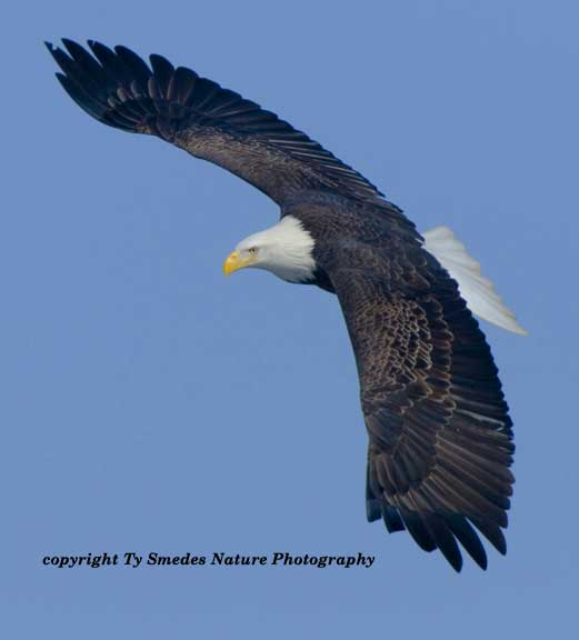 Swooping Bald Eagle along Des Moines River