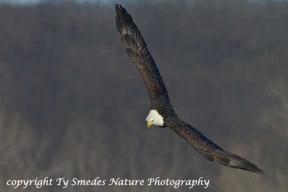 Bald Eagle fishing over the Des Moines River
