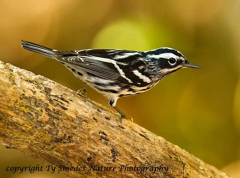 Black and White Warbler (male)