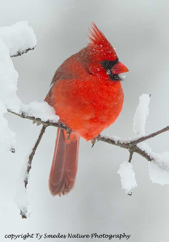 Male Northern Cardinal in Snowstorm