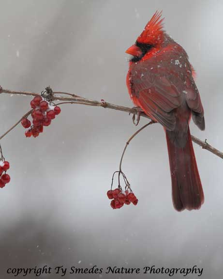 male cardinal in snow storm