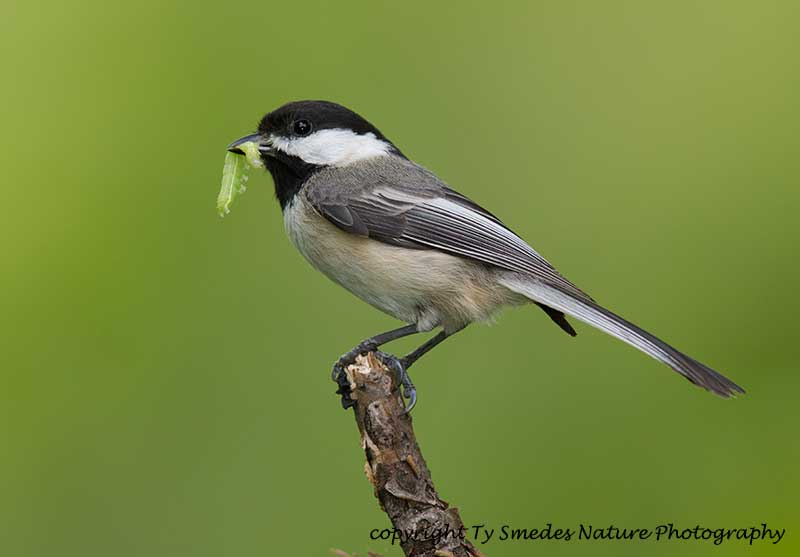 Black-capped Chickadee with green worm