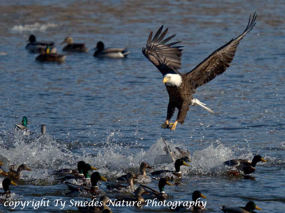 http://www.smedesphoto.com/Image%20Files_Gallery/Eagle&Ducks950x709.jpg