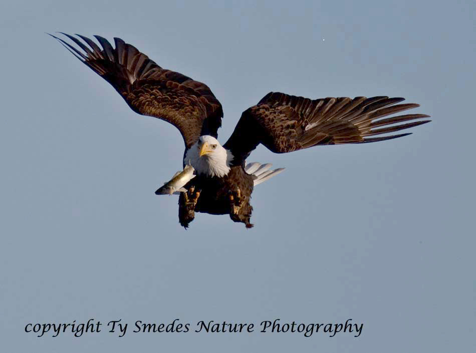 A Bald Eagle trys to recapture a fish which was lost in a mid-air scrape with another eagle