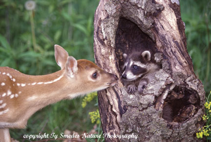 Whitetail Fawn and Baby Raccoon Touching Noses
