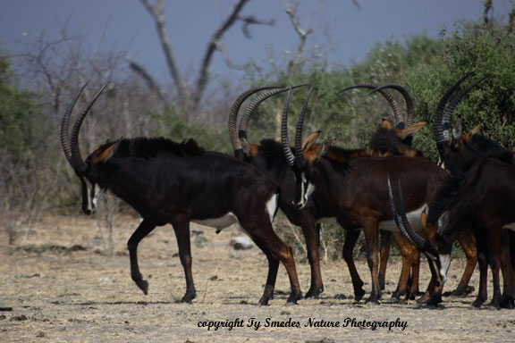 Black Sable Antelope Bachelor group Chobe National Park