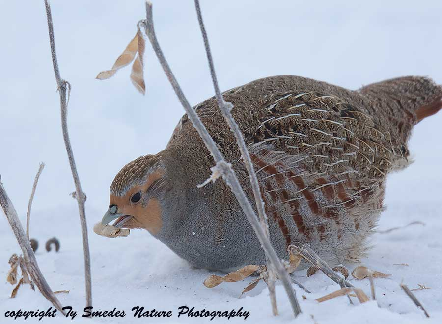 Gray Partridge eating Soybeans