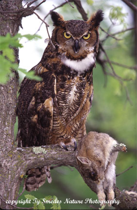 Greathorned Owl with Cottontail Rabbit