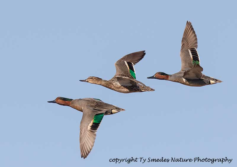Green-winged Teal Courtship Flight