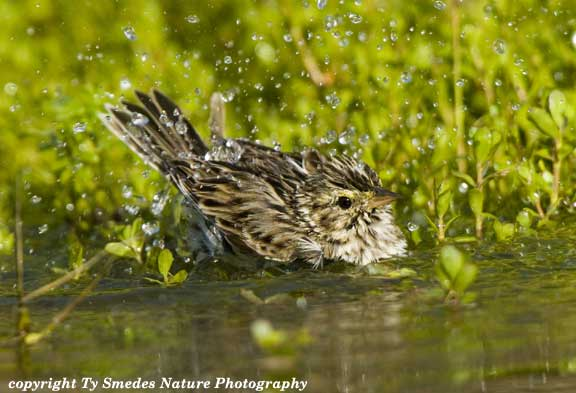 Lincoln's Sparrow bathing