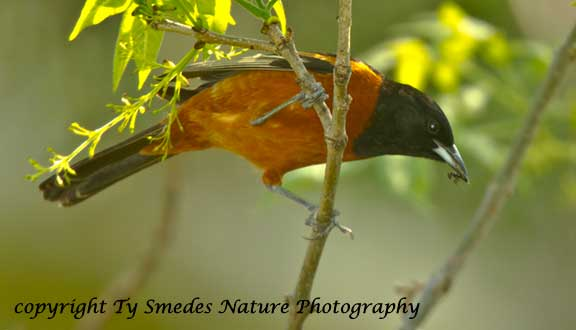 Orchard Oriole with Ant