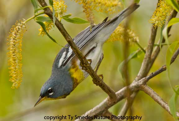 Northern Parula Male