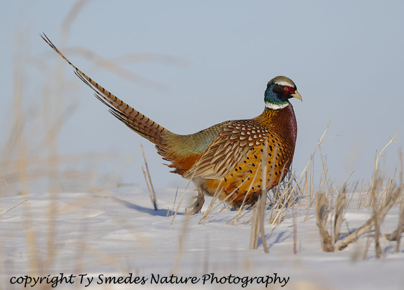 Ring-necked Pheasant Rooster in Snow
