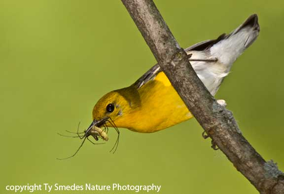 Prothonotary Warbler (female) with insects, going to the nest