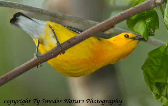 Prothonotary Warbler stretching for an insect