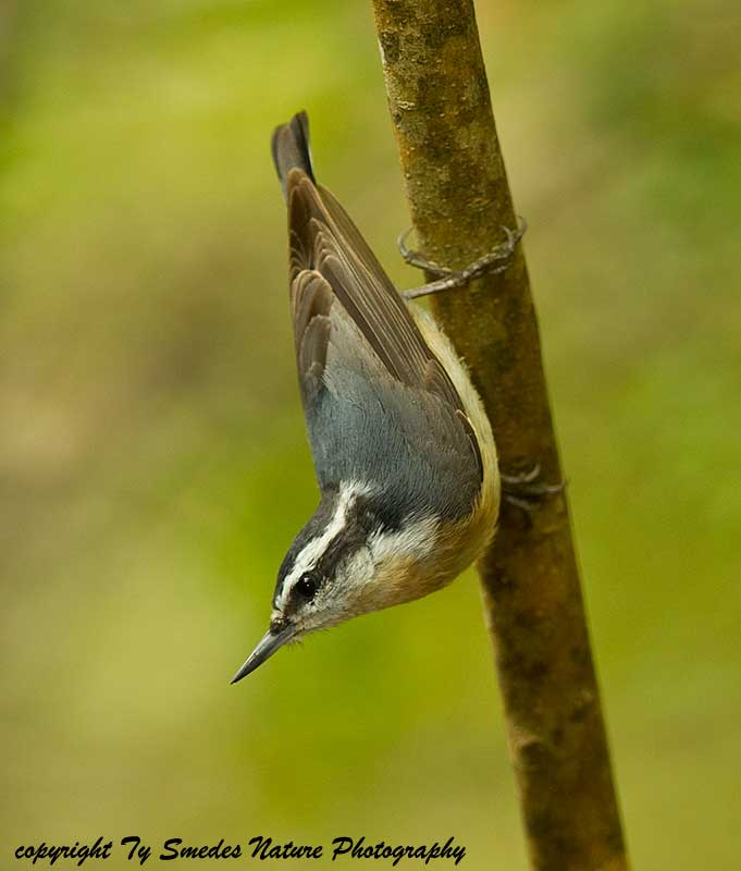Red-breasted Nuthatch (female)