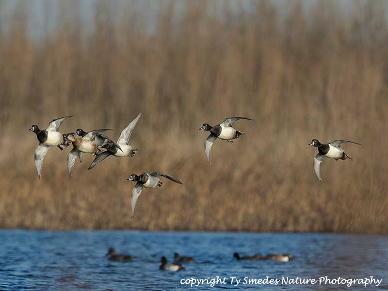 A Ringneck Courtship Flight over an Iowa Marsh