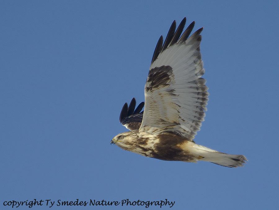 Rough-legged Hawk (female)