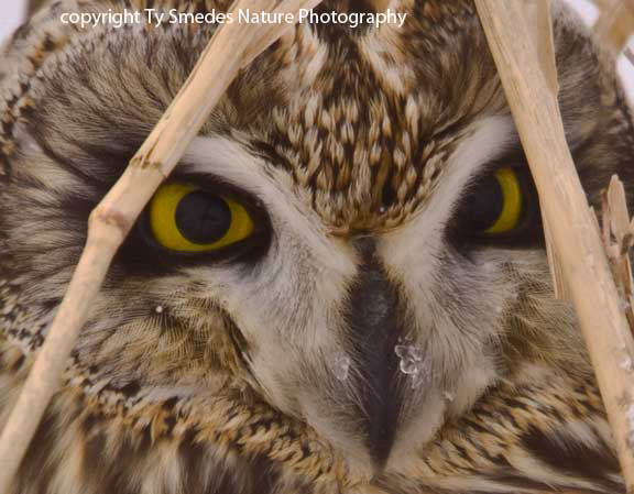 Short-eared Owl close-up