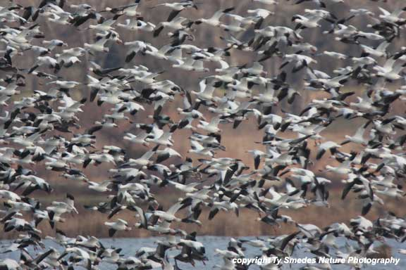 A solid wall of Snow Geese