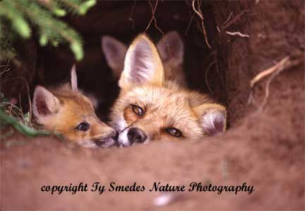 Red Fox Vixen in Den With Kits