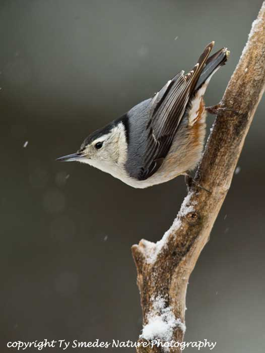 White-breasted Nuthatch in Snow-storm