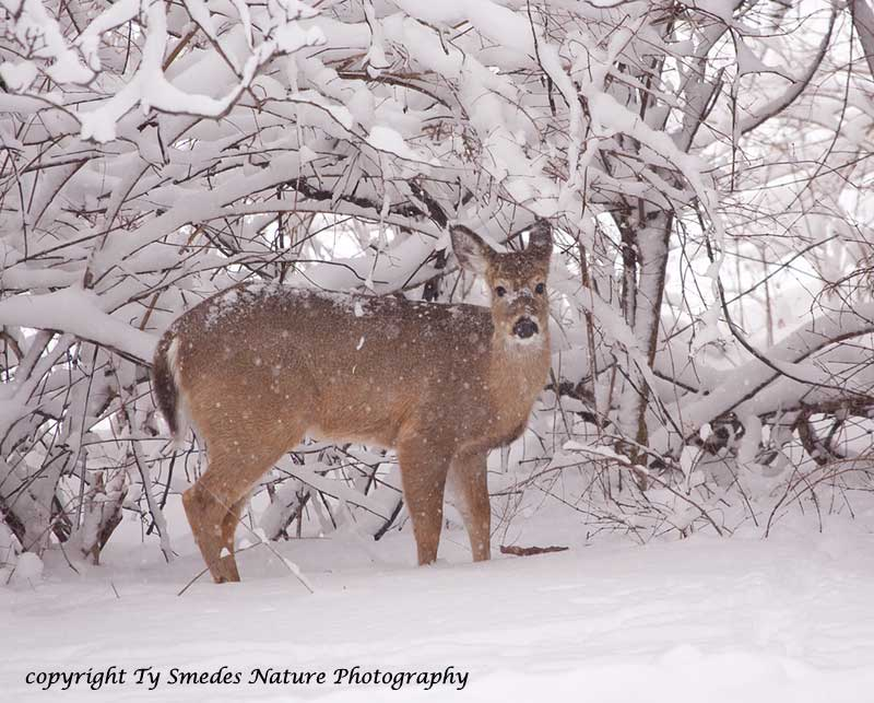 Whitetail Doe in Snow-storm