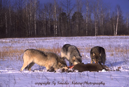Wolves with deer kill